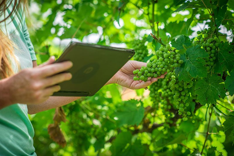 tablet with grapes in vineyard wine technology software